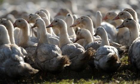 France to cull 600,000 more ducks in fight against bird flu virus