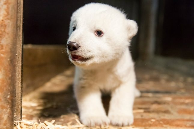 After Knut, meet Fritz, the polar bear melting German hearts