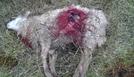 Danish farmers call for help as wolf attacks rise