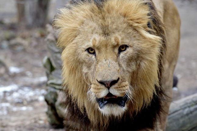 16 police officers hunt 'escaped lion' at Schönbrunn
