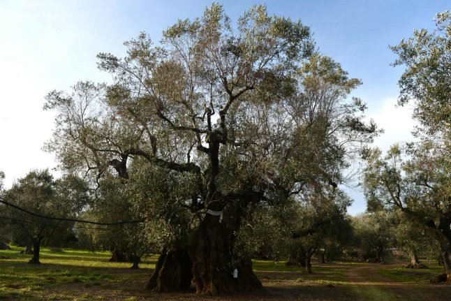 Spain's Balearic Islands hit by deadly olive tree bacteria