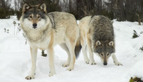 Norway government to allow last-minute wolf cull