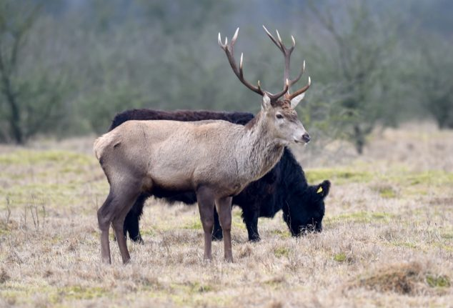 VIDEO: German stag 'pretends' to be cow to avoid being hunted