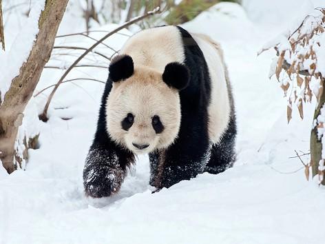 Vienna's dead panda gets stuffed for final journey