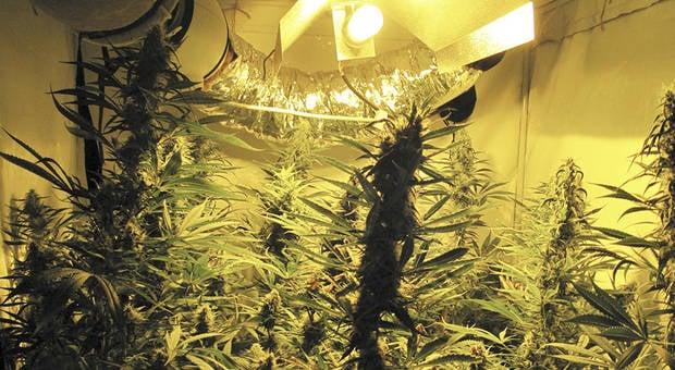 Trend for 'home grown' cannabis in Austria