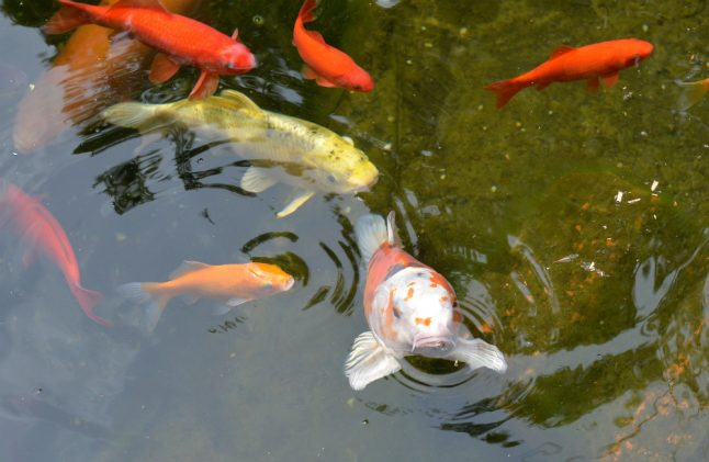 Pet goldfish forming shoals and starving out Munich's native species