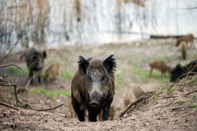 Rome man killed in wild boar-scooter collision