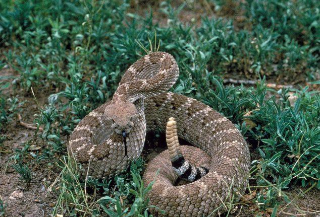 Man bitten by rattlesnake in Madrid park