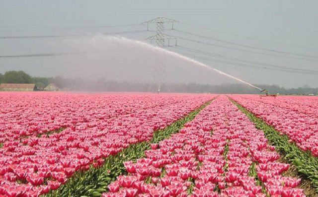 Milan is the new Holland: The Italian city is getting a massive tulip field