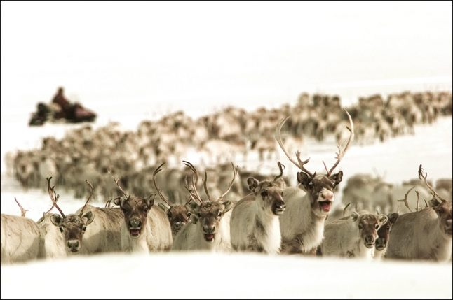 Norway authorities prepare for 'mass slaughter' of reindeer