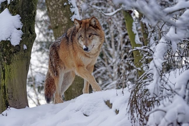 Outrage as Norway moves to allow recreational wolf hunting