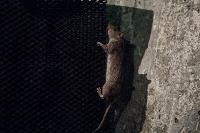 Gothenburg fighting 'increasing' rat attacks