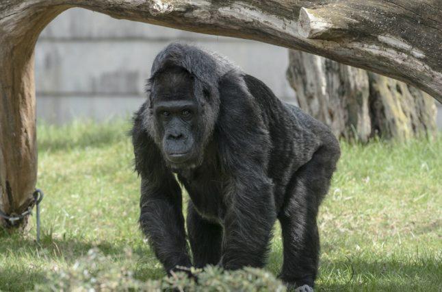 Europe's oldest gorilla celebrates 60th birthday in Berlin