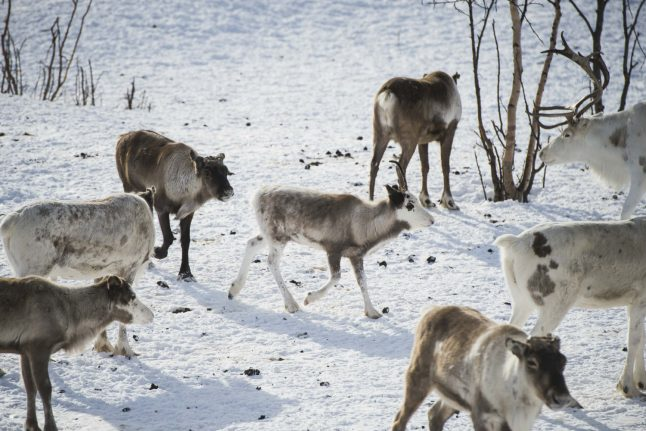 Norway's reindeer at risk from Arctic hot spell