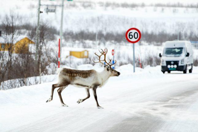 Norway to kill 2,000 reindeer to eradicate disease