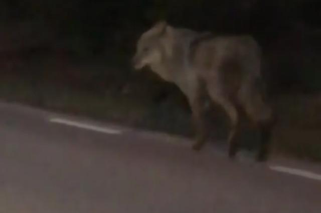 WATCH: Swede films a wolf running alongside his car