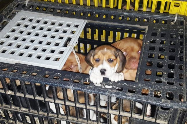 Dog shelter overrun by cuteness after police bust finds 42 puppies