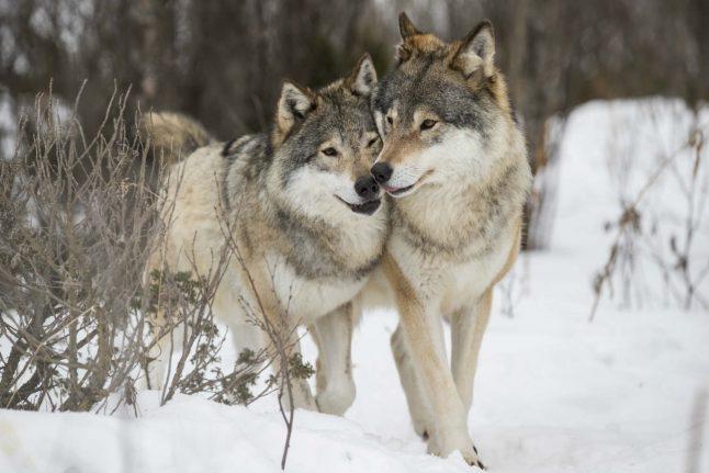 Wolves walked 500 kilometres to return to Denmark