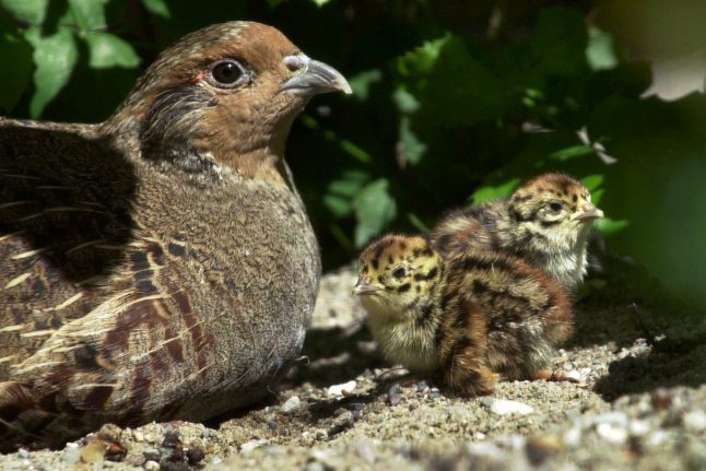 Number of partridges, other birds have dropped by 80 percent: report