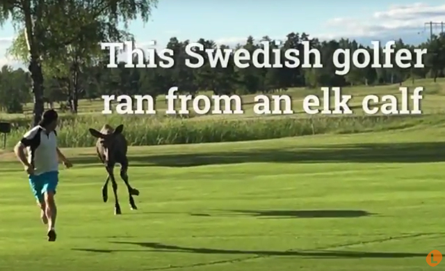 WATCH: Elk calf chases Swedish golfer