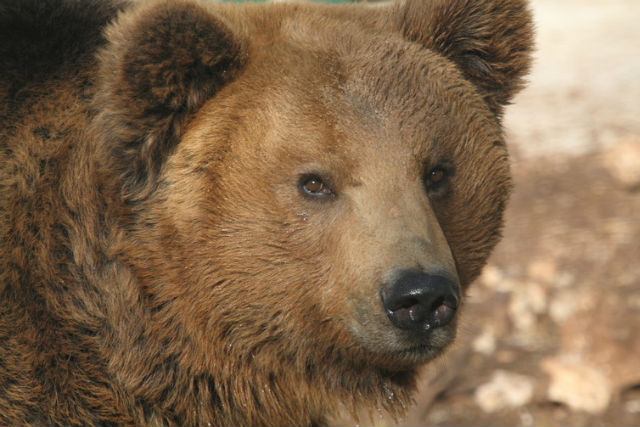 What does the future hold for Italy's native bears?