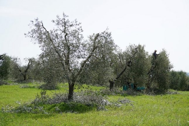 Spain hit by deadly bacteria threatening olive trees