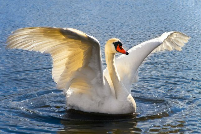 Aggressive Norwegian swan gets stay of execution after authority u-turn