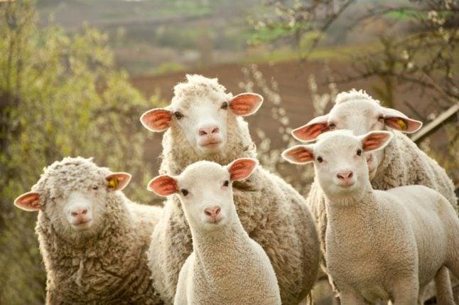 Sheep poo makes Norwegian cyclists sick