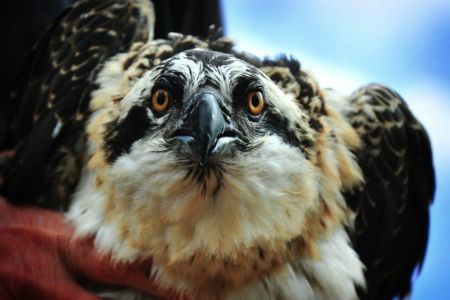 Norwegian osprey chicks wing it to Switzerland in conservation project