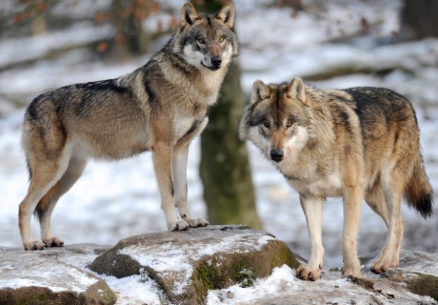 France to send wolves to the slaughter in bid to save sheep flocks