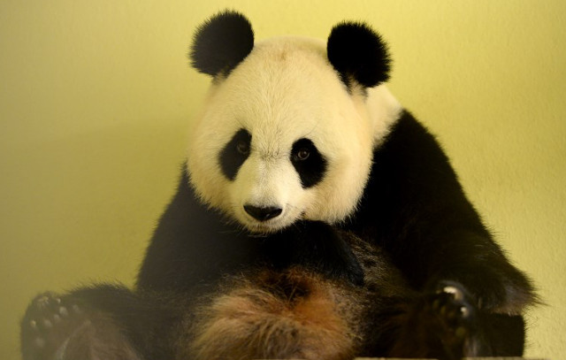 France to say 'bienvenue' to its first ever panda cub