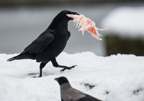 Ravens can plan ahead similar to humans, Swedish study shows