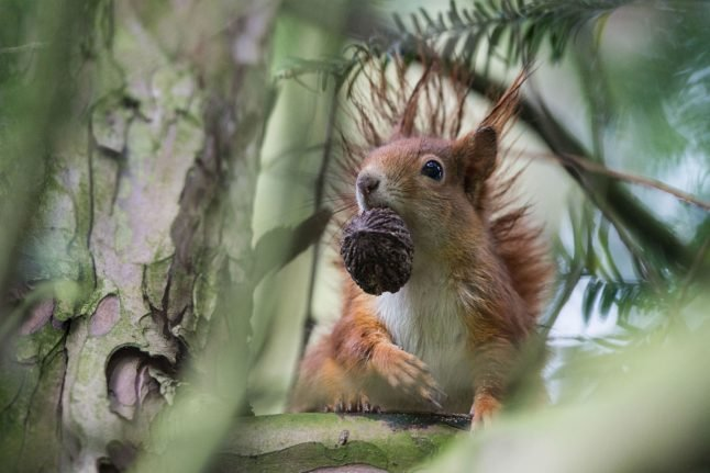 Police intervene as notorious neo-Nazi goes on squirrel-killing spree