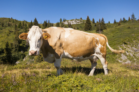 How to protect yourself against cow attacks