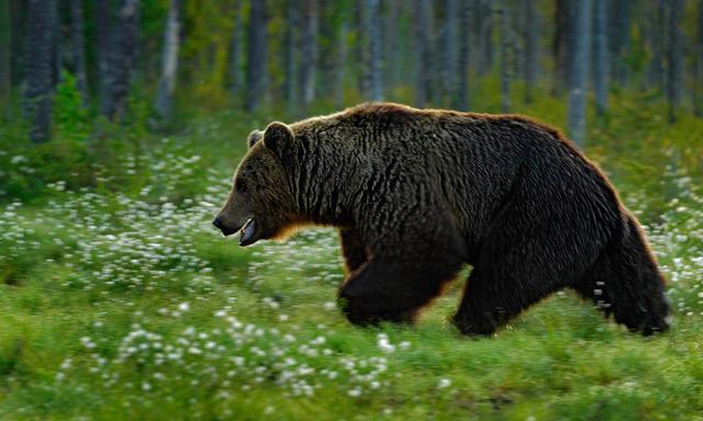 Swedish hunter attacked by bear