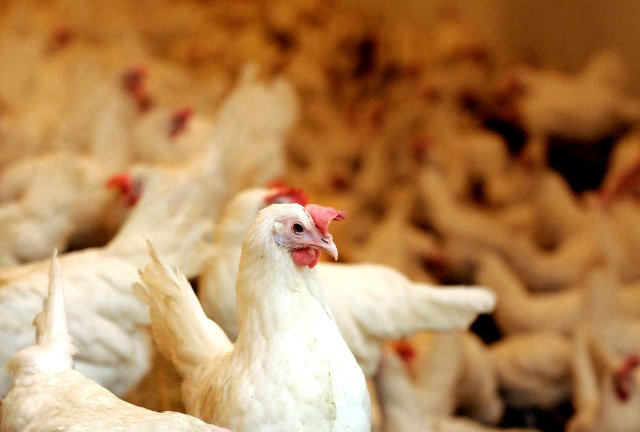 Chickens run for it: 1,000 birds escape truck without the driver noticing