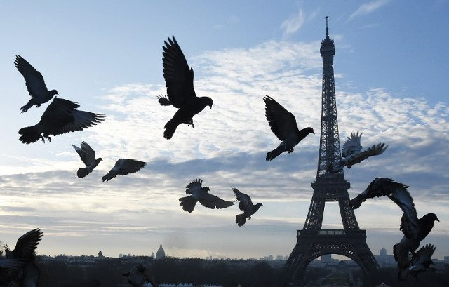 Paris hires falcons to beat pigeon plague