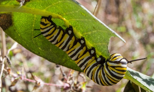 German study casts doubt on 'plastic digesting' caterpillars