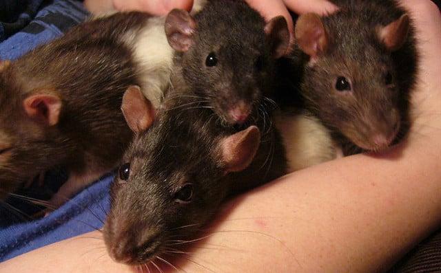 France: Rats attack paraplegic girl in bed