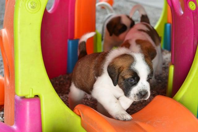 Barry Foundation celebrates bumper crop of St Bernard puppies