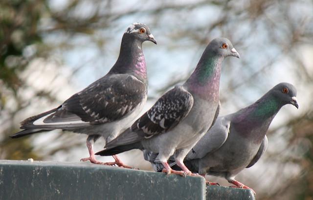 Italian woman dies 'from inhalation of pigeon poo'
