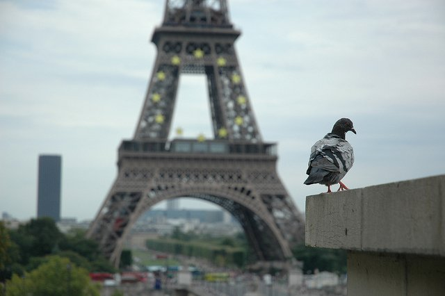 Parisians fight for pigeons' rights as mayor plans to deploy falcons