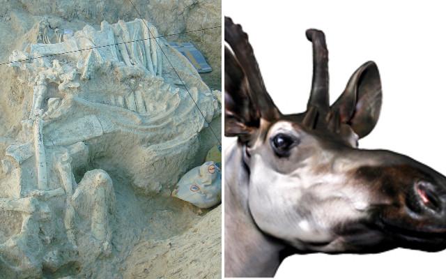 Spanish scientists discover primitive four-horned giraffe