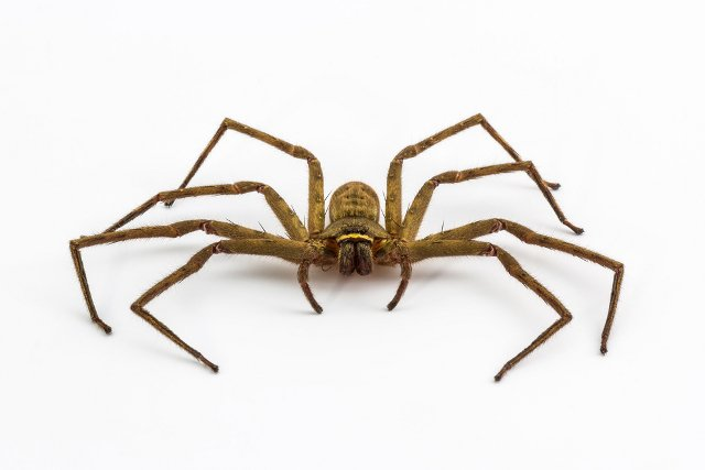 Arachnophobe calls police to deal with spider in Chur home