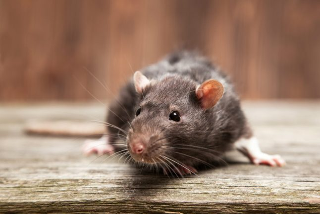 Danish homeowners face costs of surge in rat attacks