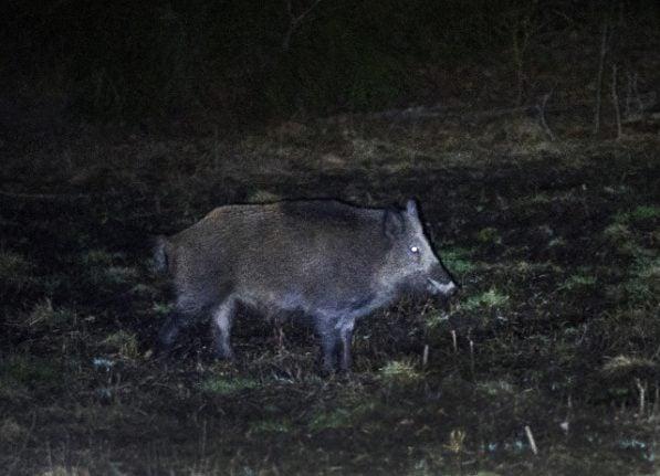 Record radiation levels found in Swedish wild boar