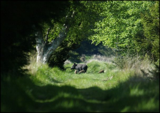 WWF to complain to EU over Danish swine flu fence