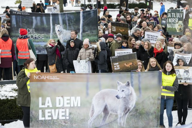 Wolf campaigners boycott sheep meat in Norway