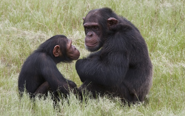 Swedes win 'alternative Nobel' for study on chimps and humans