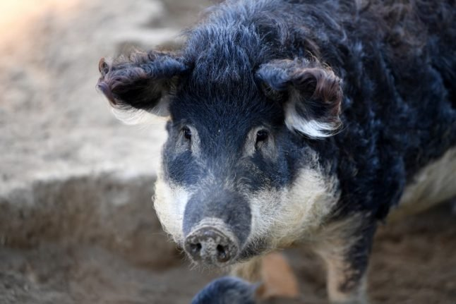 French ham fans bring Hungarian pigs back from the brink